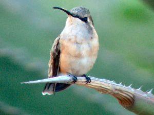 Big Bend Birding/Birdwatching